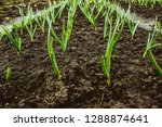 fresh garlic and onion sprouts... | Shutterstock . vector #1288874641