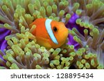 Maldive anemonefish (Amphiprion nigripes) and sea anemone