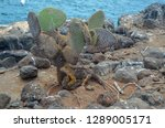 land iguana  on galapagos... | Shutterstock . vector #1289005171