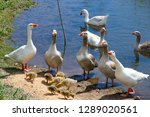 Many Geese Are Standing On The...