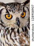 Stock photo brown and white owl one of several existing species 128908907
