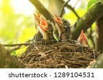 Stock photo baby birds in a nest on a tree branch close up in spring in sunlight 1289104531