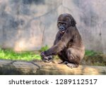 Stock photo young juvenile male silverback western lowland gorilla gorilla gorilla gorilla playing and 1289112517
