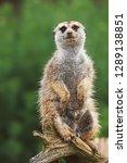 suricate or meerkat  suricata...   Shutterstock . vector #1289138851