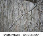 beautiful background of willow... | Shutterstock . vector #1289188054