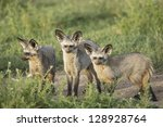 three bat eared foxes in the... | Shutterstock . vector #128928764