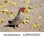 a red headed finch on the... | Shutterstock . vector #1289425507