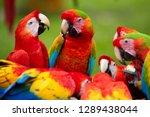 Group Of Wild Ara Parrots  Ara...