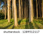 coastal forest on the baltic... | Shutterstock . vector #1289512117