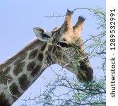 giraffe   giraffa... | Shutterstock . vector #1289532991