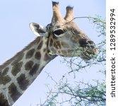 giraffe   giraffa... | Shutterstock . vector #1289532994