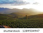 Small photo of coffee crop arabica, at sunset in the mountains east of the state of minas gerais Brazil, largest producer of coffee on the planet