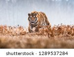 Stock photo siberian tiger running beautiful dynamic and powerful photo of this majestic animal set in 1289537284