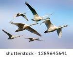 Flying swans. blue sky...