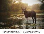 border collie is standing in... | Shutterstock . vector #1289819947