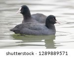 Swimming Coots  Fulica Atra ...