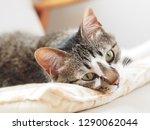 cat lying on the sofa   Shutterstock . vector #1290062044