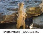 meerkat  suricate  suricata...   Shutterstock . vector #1290131257