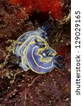 Small photo of Nudibranchs (Felimare fontandraui) in Tavira, Algarve, Portugal