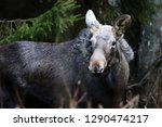 young elk  age about one year ...   Shutterstock . vector #1290474217