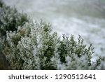 green hedge with frozen...   Shutterstock . vector #1290512641