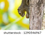 cute squirrel holding food... | Shutterstock . vector #1290546967