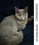 british shorthair cat isolated...   Shutterstock . vector #1290604054