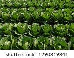 green cabbage plantation | Shutterstock . vector #1290819841