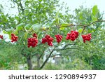 branches of red... | Shutterstock . vector #1290894937