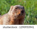 funny muzzle groundhog with... | Shutterstock . vector #1290953941