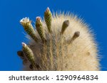 flowering gigantic cactus on... | Shutterstock . vector #1290964834