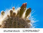 flowering gigantic cactus on... | Shutterstock . vector #1290964867