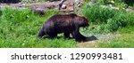 the grizzly bear also known as... | Shutterstock . vector #1290993481