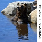 the grizzly bear also known as... | Shutterstock . vector #1290993487