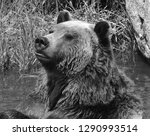 the grizzly bear also known as... | Shutterstock . vector #1290993514