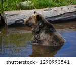 the grizzly bear also known as... | Shutterstock . vector #1290993541