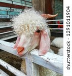 Small photo of The white sheep are in the wooden enclosure. Outdoor nature fur head face horny beast
