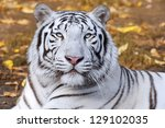 White Tiger On Autumn Background