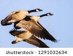 flock of geese taking to flight ... | Shutterstock . vector #1291032634