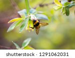 Bumblebee On A Flower In A...