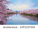 full bloom sakura   cherry... | Shutterstock . vector #1291137334