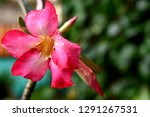 red frangipani flowers are... | Shutterstock . vector #1291267531