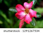 red frangipani flowers are... | Shutterstock . vector #1291267534