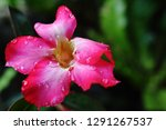 red frangipani flowers are... | Shutterstock . vector #1291267537