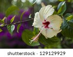 white hibiscus flower in the nature. - stock photo