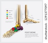 foot bone anatomy vector... | Shutterstock .eps vector #1291377097