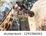 a giraffe  giraffa... | Shutterstock . vector #1291586041