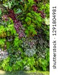 texture of living wall with... | Shutterstock . vector #1291804981