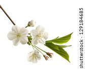 Blossoming Cherry Branch With...