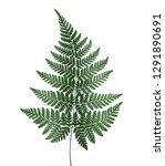 watercolor fern isolated on...   Shutterstock . vector #1291890691